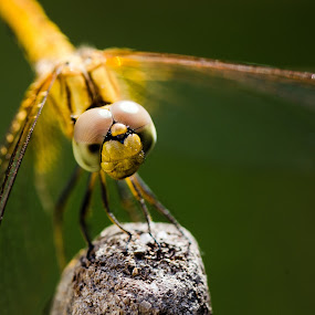 dragon fly by Daniel Kong - Animals Insects & Spiders ( macro photography, wings, yellow, insect, dragonfly )