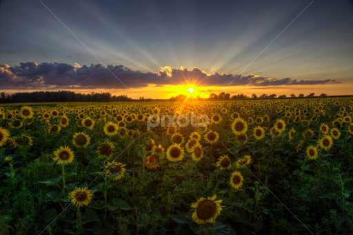 Sunflowers At Sunset By Peter Stratmoen