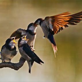 Swallows feeding by Johann Harmse - Animals Birds ( bird, swallows, feeding, swallow, birds,  )