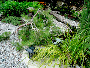 Photo: Weeping Ponderosa Pine, various sedges and grasses, and statuary give this garden a Japanese feel.
