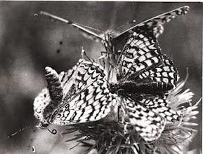 """Photo: La parade d'amour des papillon Mélitées orangées """"Meliteae didyma"""".  La femelle l'abdomen dressé et les antennes au vent - 1972 -  Nota : photo prise avec un jeu de bagues allonge !"""