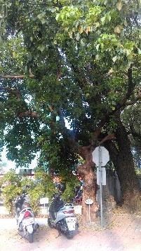 D:\台南女中\照片\063前圍牆邊茄苳及老樟樹.jpg