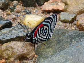 Photo: AQUA-ARCHED (KOLYMA) EIGHTY-EIGHT--catacore kolyma--RIO CHALUAYACU, NAPO