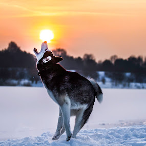 Siberian Husky by Cristiano Bento - Animals - Dogs Playing