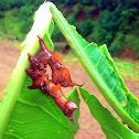 Stauropus sikkimensis