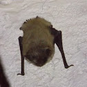 Arizona Myotis