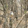 Bare Faced Go-Away Bird