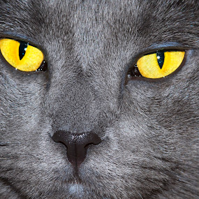 Grey cat with golden  Eyes by Loredana  Smith - Animals - Cats Portraits ( breed, kitten, cat, carnivorous, furry, beautiful, loving, cute, close up, mammal, hairy, colour, carnivore, pet, feline, kitty, animal )