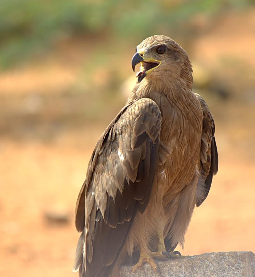 Black Kite by Prasanna Bhat - Animals Birds