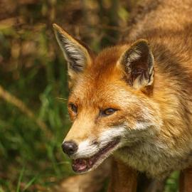 Fox by Garry Chisholm - Animals Other Mammals ( nature, mammal, fox, garry chisholm )