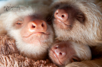 Photo: Ellen, Kermie and Pelota, baby two toed sloths at the KSTR Rescue Center