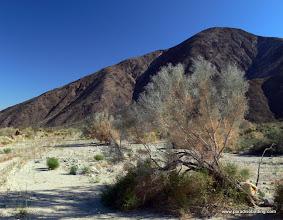 Photo: Smoke tree and desert wash, Anza Borrego Desert