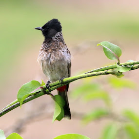 Red-vented bulbul by Vivek Naik - Animals Birds ( pycnonotus cafer, bird pycnonotus pycnonotus cafer, red-vented bulbul bird )