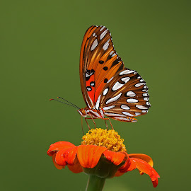 Gulf Fritillary Butterfly by Anthony Goldman - Animals Insects & Spiders ( nature, butterfly, insect, bok tower gardens, gulf fritillary, lake wales, colors, wildlife,  )