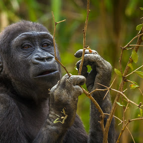 Young Eastern Gorilla by Kevin Case - Animals Other ( great apes, animals, eastern gorilla, apes, gorilla, bokeh, animal portraits )