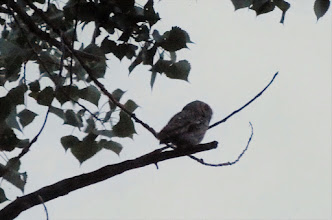 Photo: Eastern Screech Owl (several at campsite)