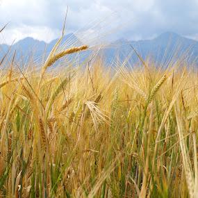 Gold by Veronika Gallova - Landscapes Prairies, Meadows & Fields ( field, gold field,  )