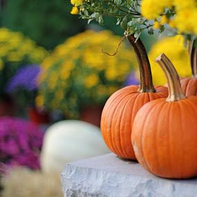 Pumpkins & Mums by Jim DeMicco - Nature Up Close Gardens & Produce ( autumn, pumpkins, fall, mums )