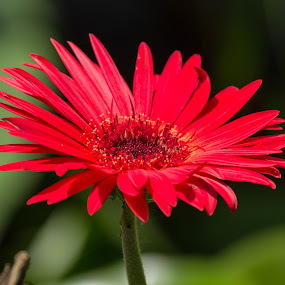 Gerber Daisy by Chad W - Nature Up Close Flowers - 2011-2013 ( red, gerber daisy, daisy, bloom, close up, flower )