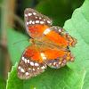 Scarlet Peacock Butterfly