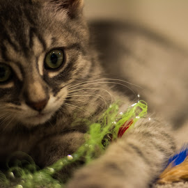 Carl by Gavin Krohman - Animals - Cats Playing ( young kitten, kitten playing, baby animal, kitty, baby cat,  )