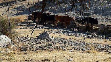 Photo: Vacas en el pozo de la Bomba.