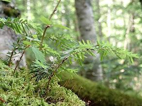 Photo: コメツガのひこばえ