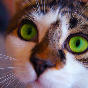 Tork by Shawn Vanlith - Animals - Cats Portraits ( cat, tork )