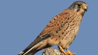 El ave avistada por los vecinos era una cría de cernícalo.