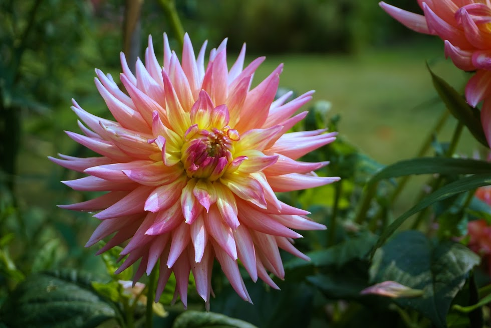 A magnificent dahlia in the botanical gardens - Seattle, Washington