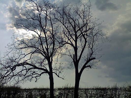 Due alberi di corbellimax