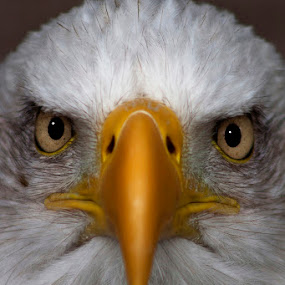 Bald Eagle  by Stephanie Veronique - Animals Birds ( bird of prey, eagle, beak, animal, eyes, face, people,  )