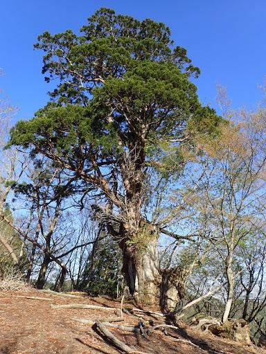 897mピーク手前の巨木