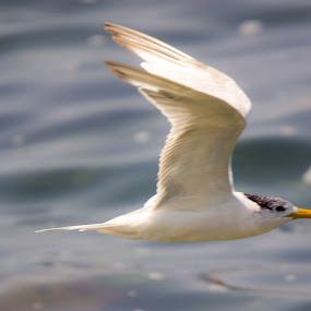 Fly Bye by Ailsa Burns - Animals Birds ( sea bird, bird, gull, tern, cape town )