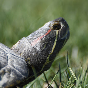 Turtle by Mark Lawrence - Animals Reptiles ( turtle, grass, reptile )
