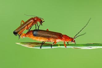 Photo: Rhagonycha fulva, Téléphore fauve,Common red soldier beetle  http://lepidoptera-butterflies.blogspot.com/