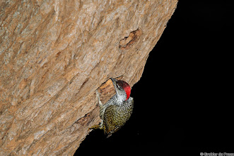 Photo: A male Golden-tailed Woodpecker (Afrikaans: Goudstertspeg) at the Haak en Steek Camp Site in the Mokala National Park