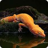 Gecko Lizard Wallpapers HD