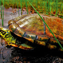Turtle from amazon savanna
