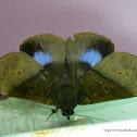 Ischyja manlia - Female Moth