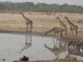Photo: Giraffe sees something.