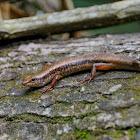Indian Forest Skink 銅蜓蜥