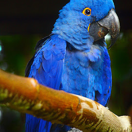 Bleu azur by Gérard CHATENET - Animals Birds