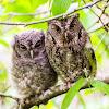 Bearded Screech Owl