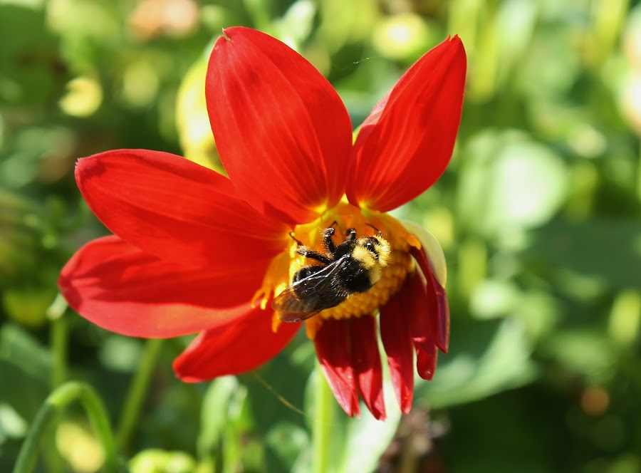 To Bee or not to Bee by Shari Linger - Flowers Single Flower ( nature, single flower, bee, lakes, waterways, gardens, flower,  )