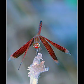 Dragonfly by Enggus Fatriyadi - Animals Insects & Spiders