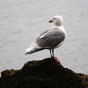 Glaucus-winged Gull