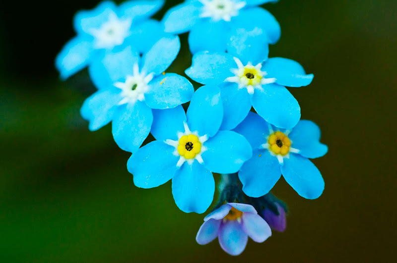 Forget-me-nots, marked by blue petals surrounding a yellow eye, are the the state flower of Alaska.
