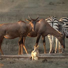 Sundowner by Bjørn Borge-Lunde - Digital Art Animals ( wild animal, predator, wilderness, antelope, wildlife, zebra, africa, jackal )