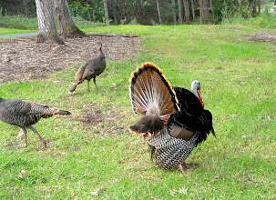 Photo: This male Wild Turkey came rushing up to us at the Makalei Golf Course and uncorked a great display, then turned away. There were three females in the vicinity.
